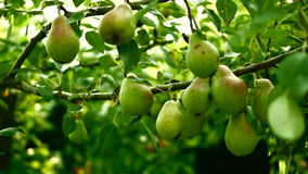 Unripe, Organic Pears On A Tree, Pan stock video footage