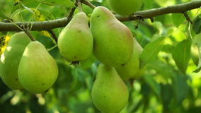 Unripe, Organic Pears On A Tree, Pan. Unripe, Organic Pears On A Tree stock footage