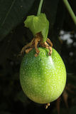 Unripe passionfruit. The passionfruit is  starting to ripen.They are growing so fast Royalty Free Stock Photo