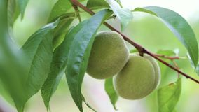 Unripe peach on a branch stock footage