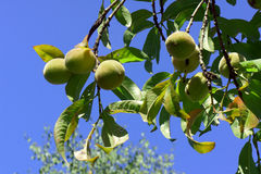 The unripe peach fruit Stock Photography