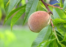 Unripe peach Royalty Free Stock Photography