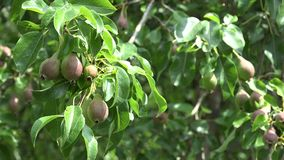 Unripe pear fruit hang on tree twig garden. 4K. Unripe pear fruit hang on tree twig in garden. 4K UHD video clip stock video footage
