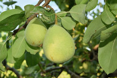 Unripe pears Royalty Free Stock Image