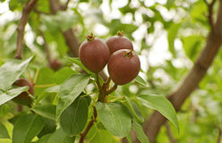 Unripe pears Stock Images