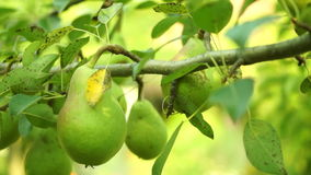 Unripe Pears On A Tree, Pan. Organic, Unripe Pears On A Tree stock video
