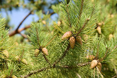 Unripe pine cone on a brach Stock Photos