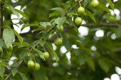 Unripe plum stock photos
