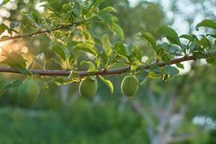 Unripe plum fruits on the branch royalty free stock photo