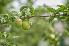 Unripe plum fruits on the branch with green leaves. On the leaves background royalty free stock images