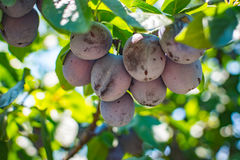 Unripe plum tree fruit - Organic healthy food from the nature. Plums are a good choice for beginner gardeners who want to grow fruit trees. Plum trees are Royalty Free Stock Images