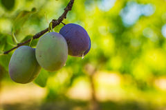 Unripe plum tree fruit - Organic healthy food from the nature. Plums are a good choice for beginner gardeners who want to grow fruit trees. Plum trees are Stock Photo