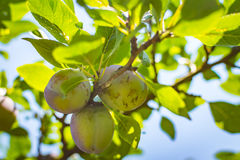 Unripe plum tree fruit - Organic healthy food from the nature. Plums are a good choice for beginner gardeners who want to grow fruit trees. Plum trees are Stock Photos
