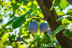 Unripe plum tree fruit - Organic healthy food from the nature. Plums are a good choice for beginner gardeners who want to grow fruit trees. Plum trees are Royalty Free Stock Photo