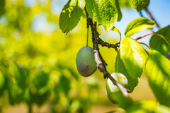 Unripe plum tree fruit - Organic healthy food from the nature. Plums are a good choice for beginner gardeners who want to grow fruit trees. Plum trees are Royalty Free Stock Photos
