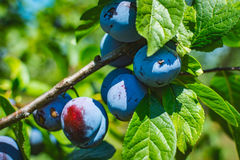 Unripe plum tree fruit - Organic healthy food from the nature. Plums are a good choice for beginner gardeners who want to grow fruit trees. Plum trees are Royalty Free Stock Photography