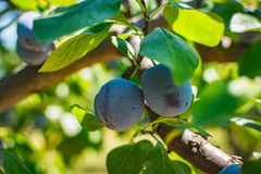 Unripe plum tree fruit - Organic healthy food from the nature. Plums are a good choice for beginner gardeners who want to grow fruit trees. Plum trees are Stock Image