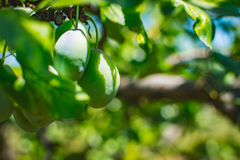 Unripe plum tree fruit - Organic healthy food from the nature. Plums are a good choice for beginner gardeners who want to grow fruit trees. Plum trees are Stock Images