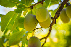 Unripe plum tree fruit - Organic healthy food from the nature. Plums are a good choice for beginner gardeners who want to grow fruit trees. Plum trees are Stock Photography