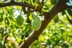 Unripe plum tree fruit - Organic healthy food from the nature. Plums are a good choice for beginner gardeners who want to grow fruit trees. Plum trees are Royalty Free Stock Image