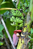 Unripe plump bananas on the banana plant Royalty Free Stock Image