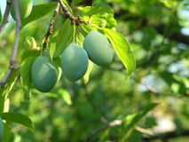 Unripe plums Stock Image
