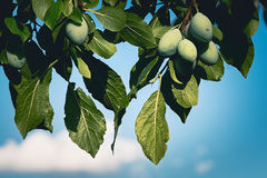 Unripe plums. On a branch Royalty Free Stock Image
