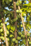 Unripe plums Royalty Free Stock Photo