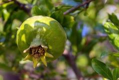 Unripe pomegranate on a branch Stock Image