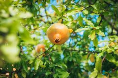 Unripe pomegranate. Fruit on the branch royalty free stock photography