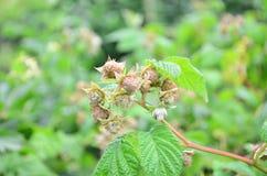 Unripe rasberry στοκ φωτογραφίες
