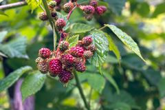 Unripe raspberries fruits in the garden. Close view Stock Images