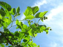 Unripe Raspberry: So Green Against the Sky. Sunlit green raspberry branches against the blue sky in the background Royalty Free Stock Image