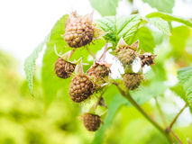 Unripe raspberry hanging on bush with fresh green leaves Stock Photography