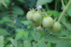 Unripe red cherry tomato. There are unripe red cherry tomato growing in the garden Stock Image