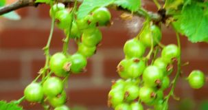 Unripe red currant against a wall stock footage