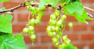 Unripe red currant against a wall stock video footage