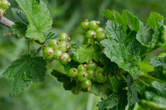 Unripe red currant berries royalty free stock photo