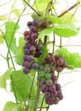 Unripe red grapes Stock Photography