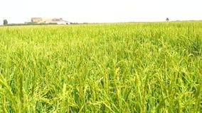 Unripe rice plantation, marshes of the Guadalquivir, Spain (4K) stock video footage