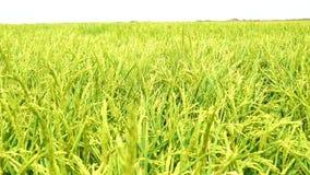 Unripe rice plantation, marshes of the Guadalquivir, Spain (4K) stock video