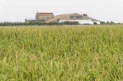 Unripe rice plantation Stock Images