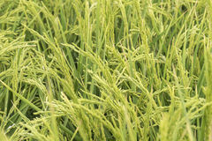Unripe rice plantation Royalty Free Stock Photos