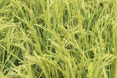 Unripe rice plantation Royalty Free Stock Photos