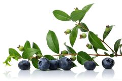 Unripe and ripe blueberries with leaves isolated. On white background stock photo