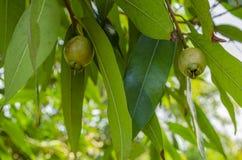 Free Unripe Rose Apples On Tree Stock Image - 151966221