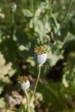 Seed pods close up of Papaver somniferum stock photo