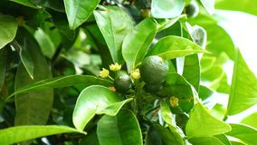 Unripe small oranges growing on the tree (4K).  stock footage