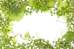 Unripe sour green grapes frame Royalty Free Stock Images