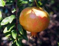 Unripe Spanish pomegranate on a tree. Spain Stock Photography